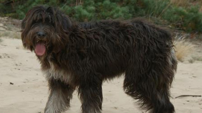 Photo of Cão Barbado da Ilha Terceira